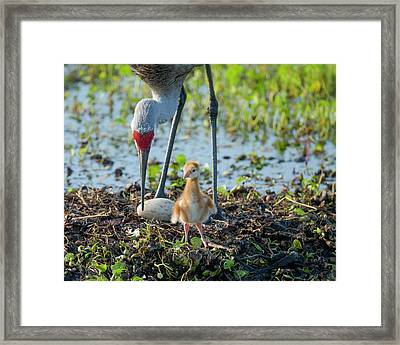 Sandhill Crane Inspecting Second Egg Framed Print