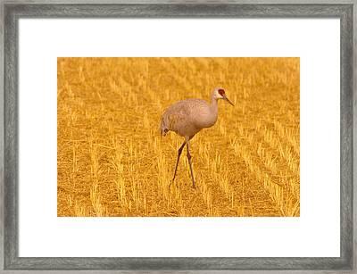 Sandhill Crane  Framed Print by Jeff Swan