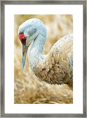 Sandhill Crane Framed Print by Michele Wright