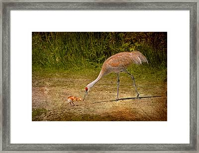 Sandhill Crane Mother And Baby Framed Print by Peggy Collins