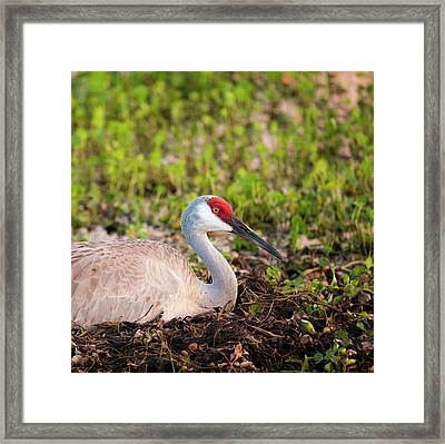 Sandhill Crane On Nest After Sunset Framed Print