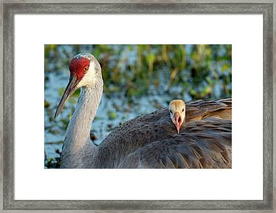 Sandhill Crane On Nest With Baby Framed Print by Maresa Pryor