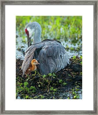 Sandhill Crane On Nest With Colt Framed Print by Maresa Pryor