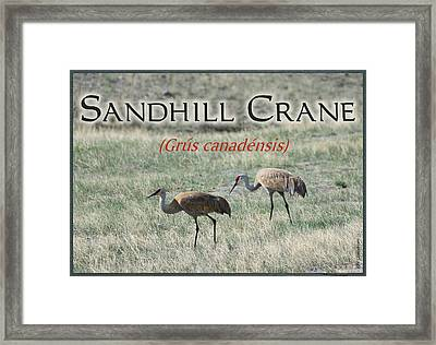 Sandhill Crane Poster Framed Print