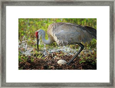Sandhill Crane Squatting Back On Nest Framed Print