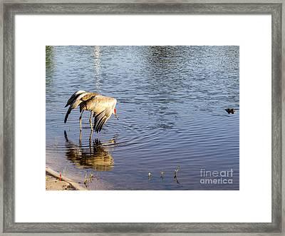 Sandhill Crane Vs Alligator Framed Print