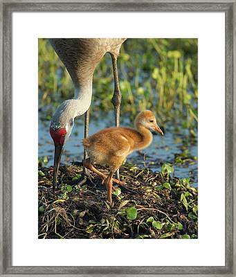 Sandhill Crane With Both Colt On Nest Framed Print