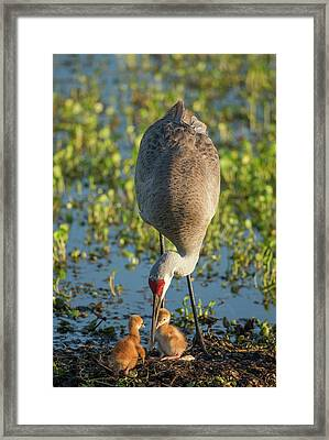 Sandhill Crane With Both Colts, Grus Framed Print