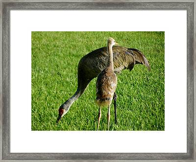 Sandhill Crane With Chick II Framed Print