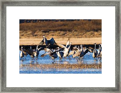Cranes Dance For Joy Framed Print