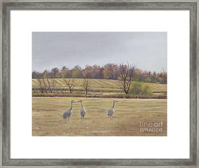 Sandhill Cranes Feeding In Field  Framed Print by Jymme Golden