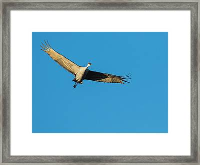 Sandhill Cranes Flying, Grus Framed Print by Maresa Pryor