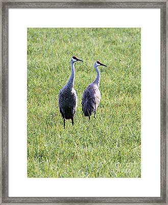 Framed Print featuring the photograph Sandhill Cranes In Wisconsin by Debbie Hart