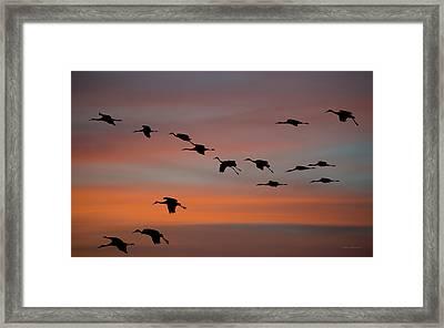 Sandhill Cranes Landing At Sunset Framed Print by Avian Resources