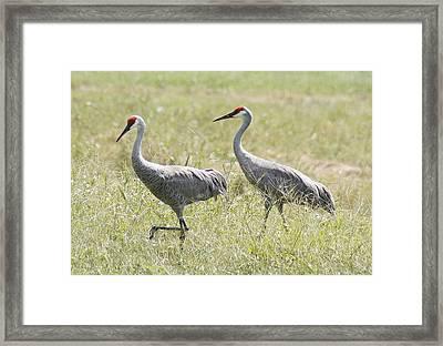Sandhill Cranes Framed Print by Lisa Williams