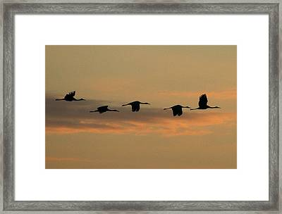 Sandhill Cranes Over Horicon Marsh Framed Print