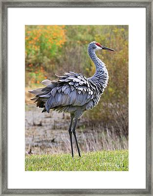 Sandhill Crane's Ruffled Feathers Framed Print