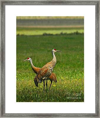 Framed Print featuring the photograph Sandhill Cranes by Sam Rosen