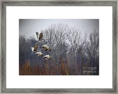Sandhill Cranes Takeoff Framed Print