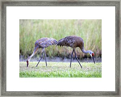Sandhill Mom With Juvenile Framed Print by Carol Groenen