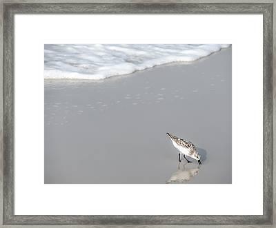 Sandpiper Framed Print by CarolLMiller Photography