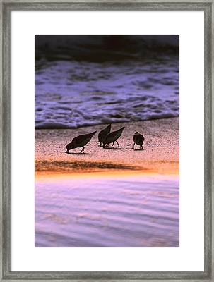 Sandpiper Morning Framed Print