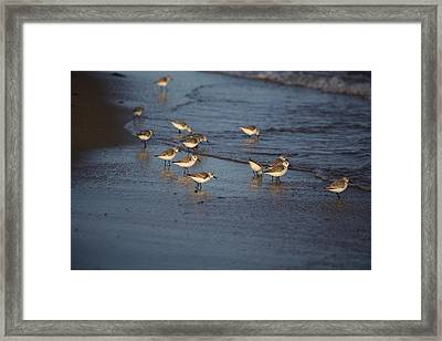 Sandpipers 5 Framed Print by Allan Morrison