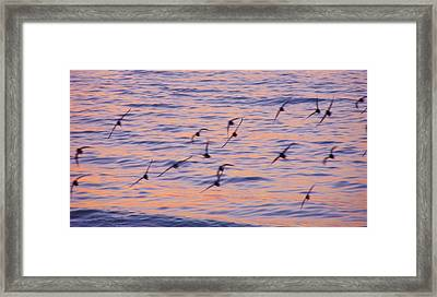 Sandpipers At Sunset Framed Print