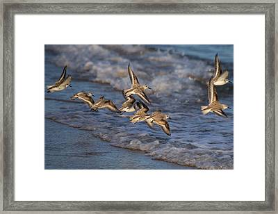 Sandpipers In Flight Framed Print by Allan Morrison