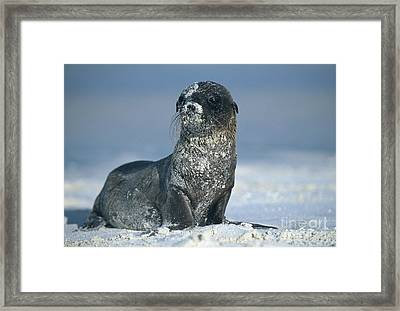 Framed Print featuring the photograph Sandy Sea Lion by Chris Scroggins