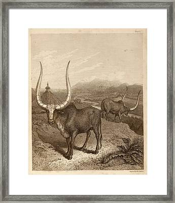 Sanga Cattle Framed Print by Middle Temple Library