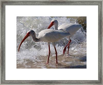 Sanibel White Ibis Framed Print