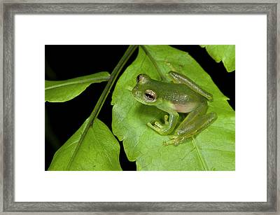 Santa Cecilia Glass Frog (cochranella Framed Print by Pete Oxford