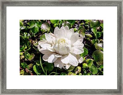 Santa Cruz Water Lily (victoria Cruziana) Framed Print by Paul Williams