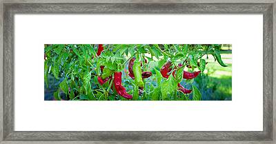 Santa Fe Grande Hot Peppers On Bush Framed Print by Panoramic Images