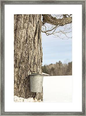 Sap Bucket On Maple Tree Framed Print by Edward Fielding