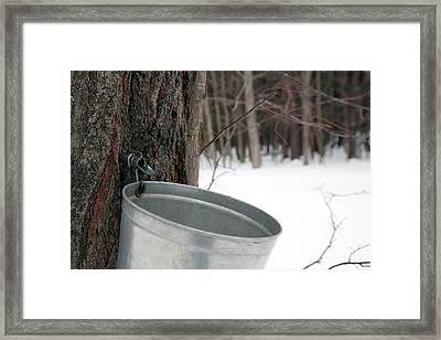 Sap Collection From Maple Tree Framed Print