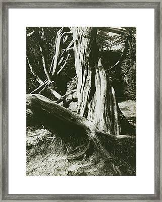 Sapin, Trianon Pine Tree Trunks At The Trianon Eugène Atget Framed Print by Litz Collection