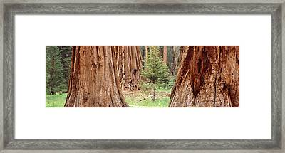 Sapling Among Full Grown Sequoias Framed Print by Panoramic Images