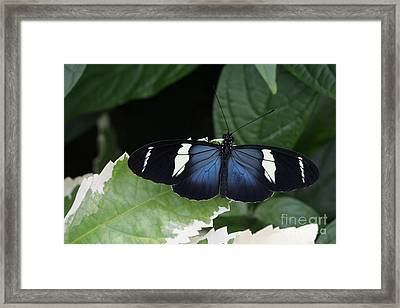 Sara Longwing Butterfly Framed Print