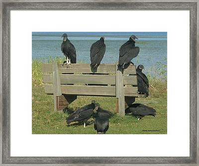 Sarasota Vultures Framed Print
