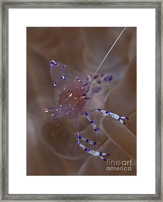 Sarasvati Anemone Shrimp In Anemone Framed Print by Steve Jones