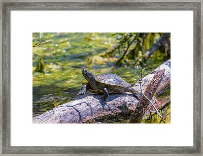 Sardis Pond Turtle Framed Print by Sharon Talson