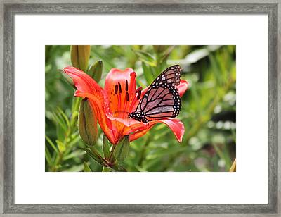 Saskatchewan Prairie Lily And Butterfly Framed Print by Ryan Crouse