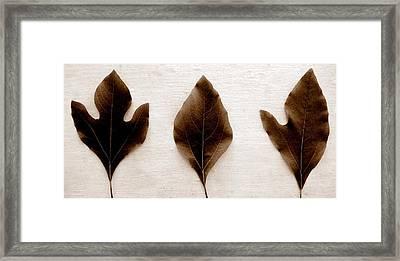 Sassafras Leaves In Sepia Framed Print by Michelle Calkins