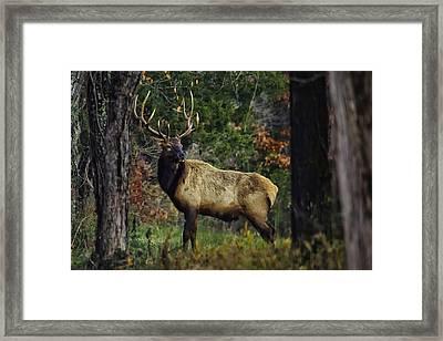 Satellite Bull Along Tree Line Framed Print