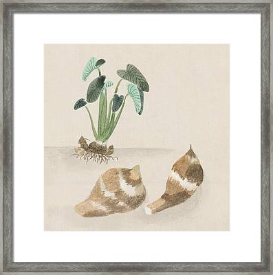 Satoimo Taro Potato  Framed Print by Aged Pixel