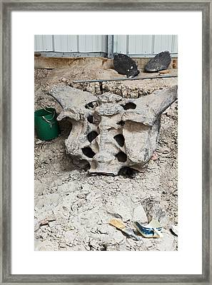 Sauropod Dinosaur Sacrum Fossil Framed Print by Jim West