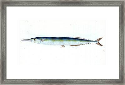 Saury, Or Skipper Pike, Esox Saurus, British Fishes Framed Print