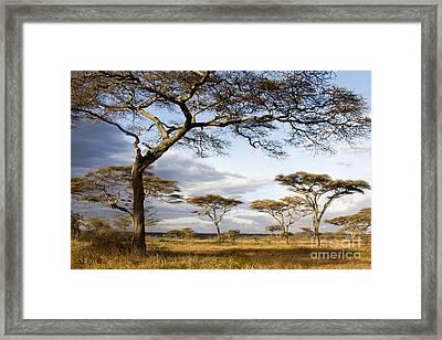 Savanna Acacia Trees  Framed Print